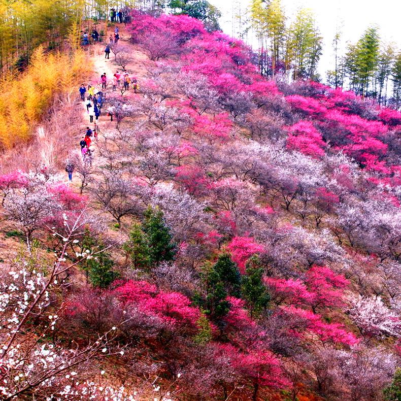 【春天花事】赏千亩梅花山,看落英缤纷;湖笔制作、徒步稍康古道