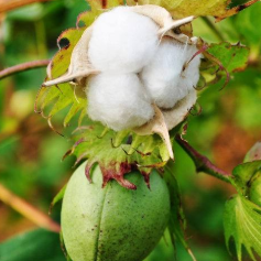 【趣非遗】趣非遗|轧棉卷棉,自制纺锤;纺线,织布,谈个棉花;自然造物之棉花不是花(半日,徐汇)